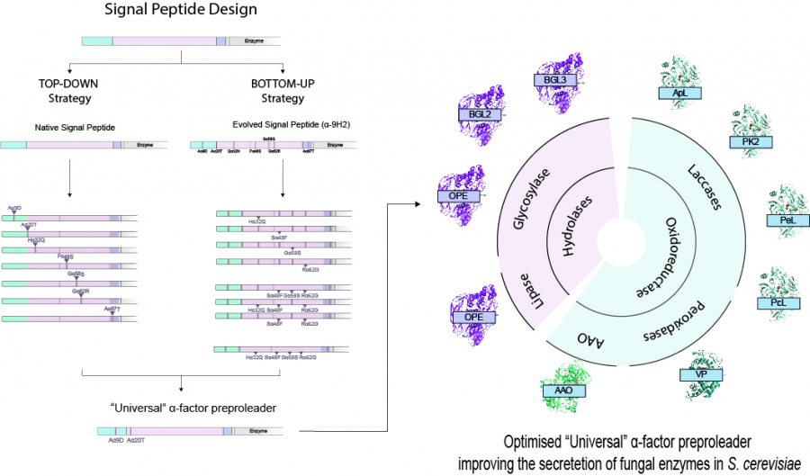 Designing a universal signal peptide for enzyme production in yeast